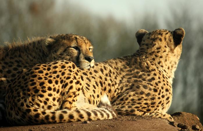 Geparden machen es sich bequem.© spookypeanut