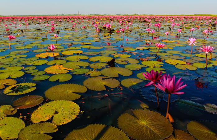 Gleite durch die zahllosen leuchtenden Blüten auf dem See der roten Lotusblüten