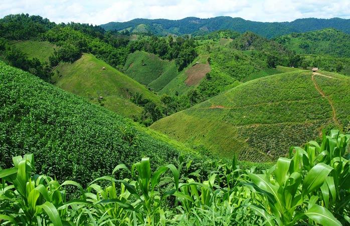 Endlose, sanft geschwungene Hügel mit Teeplantagen in Santikhiri